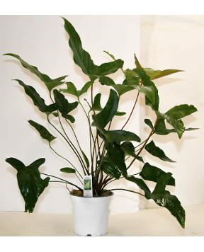 Mother Pot - Anubias Hastafolia