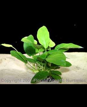 Anubias nana 'Narrow Leaf'