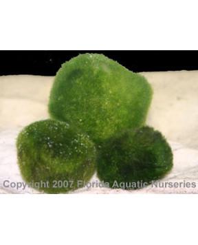 Moss Balls (Cladophora aegagropila)